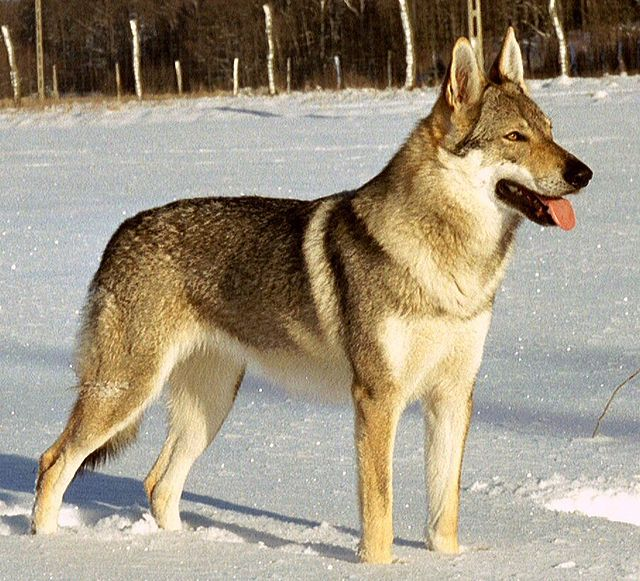 Shepherd Dogs and wolflike dogs  Dog breeds of the world