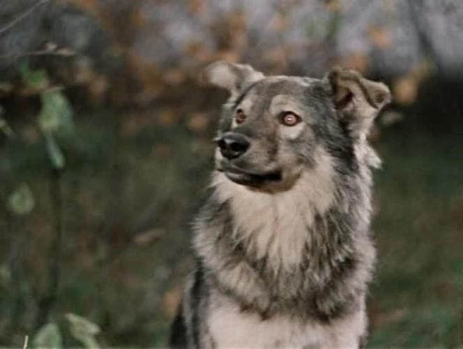 Это надо знать! ИНТЕРЕСНЫЕ факты о собаках - Страница 3 Pes-Borbos.0-02-32.278-663x500