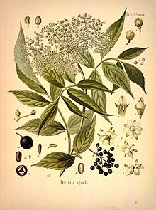 Köhler's_Medizinal-Pflanzen_in_naturgetreuen_Abbildungen_mit_kurz_erläuterndem_Texte_(Plate_46)_(7118322797)