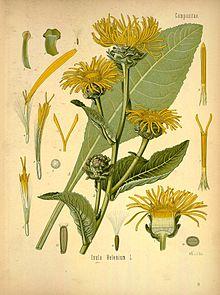 Köhler's_Medizinal-Pflanzen_in_naturgetreuen_Abbildungen_mit_kurz_erläuterndem_Texte_(Plate_90)_(8232773496)