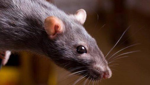 В каких случаях крысы могут напасть на человека