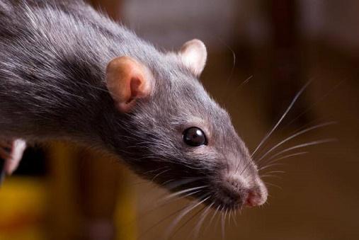 Крысы консервируют сперму